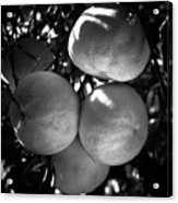 Grapefruit Acrylic Print