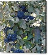 Grape's At Harvest Time Acrylic Print