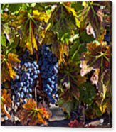 Grapes Of The Napa Valley Acrylic Print by Garry Gay
