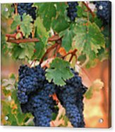 Grapes Of Tuscany Acrylic Print by Dallas Clites