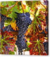 Grapes On Vine In Vineyards Acrylic Print by Garry Gay