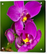 Grapette Ground Orchid Acrylic Print