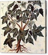 Grapevine, 1229 Acrylic Print