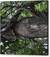 Grapevine Covered Tree Acrylic Print