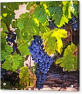 Grapevine With Texture Acrylic Print