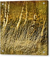 Grass And Birch Acrylic Print