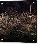 Grass At Sunset Acrylic Print
