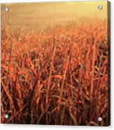 Grass Dyed In The Morning Glow Acrylic Print