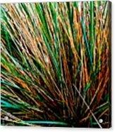 Grass Tussock Acrylic Print