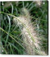 Grasses 6 Acrylic Print