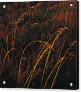 Grasses Glow Golden In Evenings Light Acrylic Print by Raymond Gehman