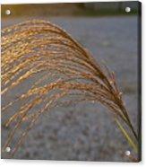 Grassflowers In The Setting Sun Acrylic Print by Douglas Barnett