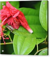 Grasshopper And Hibiscus Acrylic Print