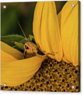 Grasshopper In Sunflower Acrylic Print