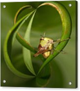 Grasshopper Twist Acrylic Print