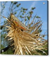 Grasshopper On Throne Of Straw Acrylic Print