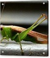 Grasshopper Posing Acrylic Print