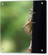 Grasshoppers Acrylic Print
