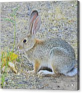 Grassland Youngster Acrylic Print