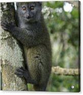 Gray Bamboo Lemur Acrylic Print