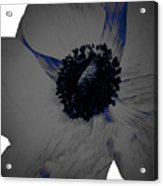 Gray Blue Poppy Acrylic Print