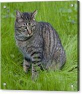 Gray Cat In Vivid Green Grass Acrylic Print
