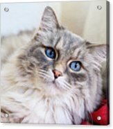 Gray Cat With Green Eyes Acrylic Print