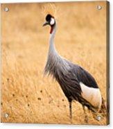 Gray Crowned Crane Acrylic Print