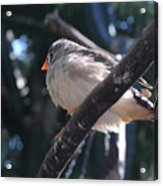 Gray Crowned Rosy Finch   Acrylic Print