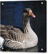 Gray Duck Acrylic Print
