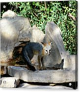 Gray Fox 4 Acrylic Print