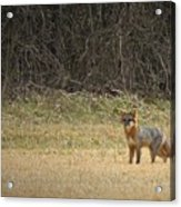 Gray Fox In Lower Pasture Acrylic Print