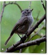 Gray Grey Bird 052814a Acrylic Print