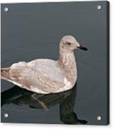 Gray Gull Reflection Acrylic Print