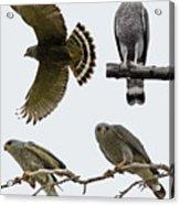 Gray Hawk Collage Acrylic Print