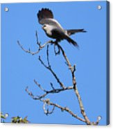 Gray Hawk Retreat Acrylic Print