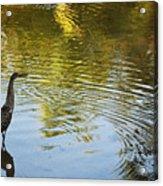 Gray Heron  Acrylic Print