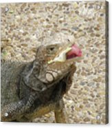 Gray Iguana Eating Lettuce With His Pink Tongue Sticking Out Acrylic Print