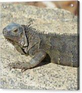 Gray Iguana With Long Talons Sitting On A Rock Acrylic Print