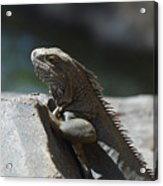 Gray Iguana With Spines Along His Back On A Rock Acrylic Print