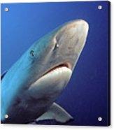 Gray Reef Shark Acrylic Print