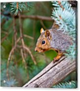 Gray Squirrel Pictures 93 Acrylic Print