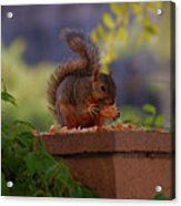 Munching Squirrel Acrylic Print