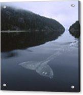 Gray Whale Clayoquot Sound Acrylic Print