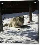 Gray Wolf 2 Acrylic Print