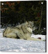 Gray Wolf 5 Acrylic Print