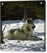 Gray Wolf 6 Acrylic Print