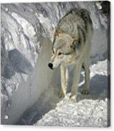 Gray Wolf 7 Acrylic Print