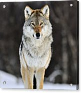 Gray Wolf In The Snow Acrylic Print