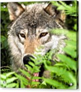 Gray Wolf In The Woods Acrylic Print